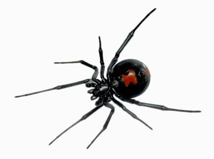 แมงมุมแม่ม่ายดำ